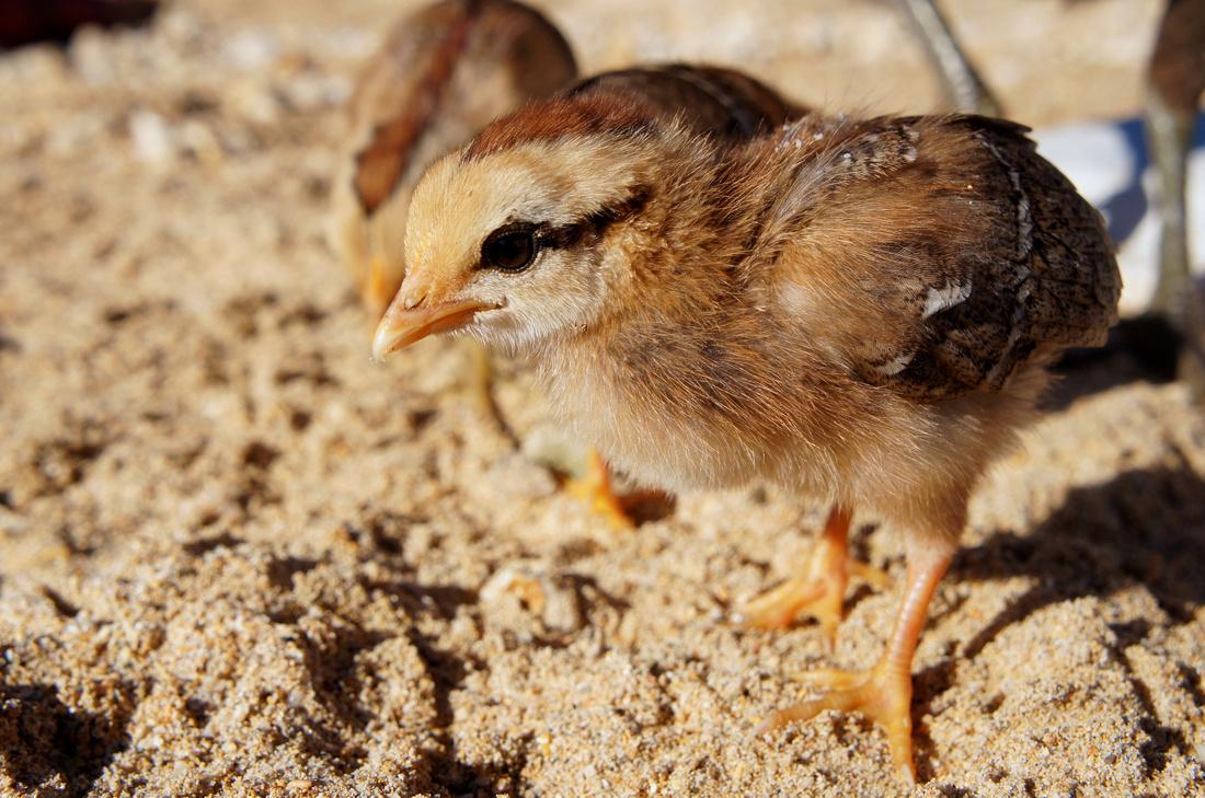 Chickens on Anini Beach, Kauai, Hawaii