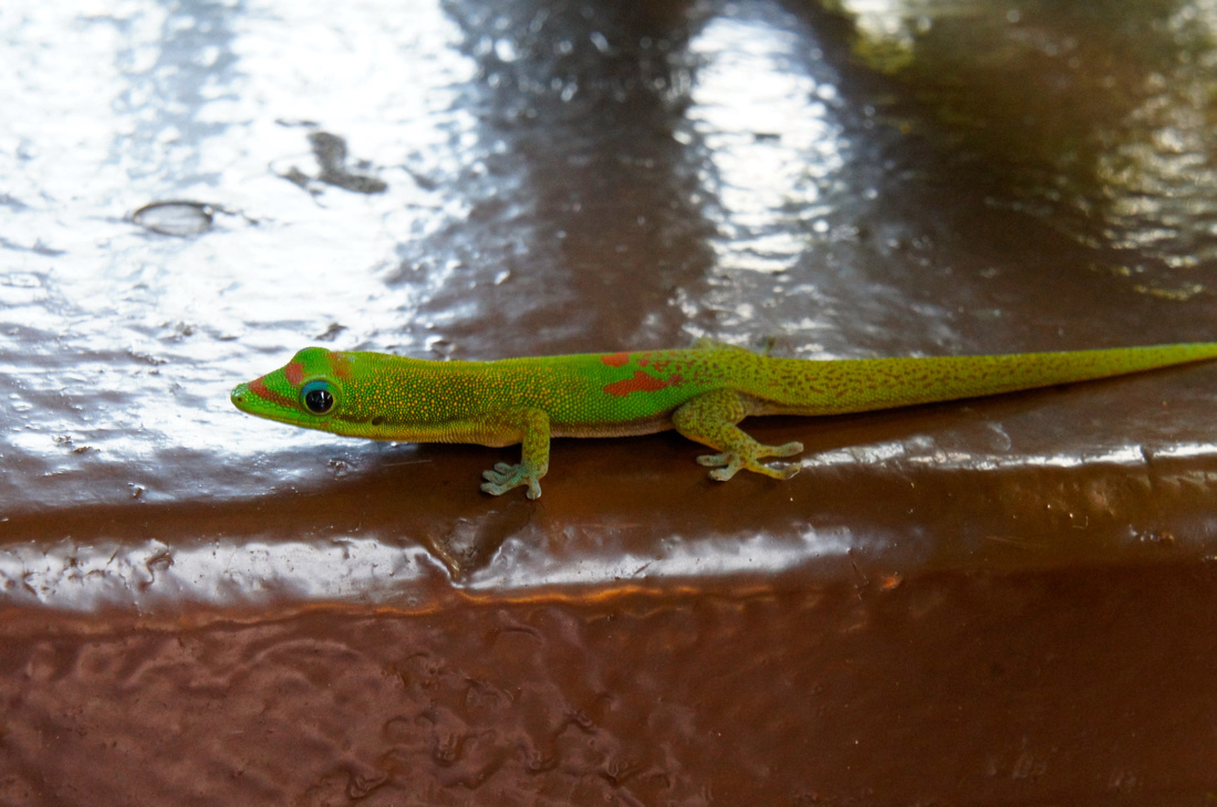We made friends with this cute and colorful Gold Dust Day Gecko who kept visiting our cottage.