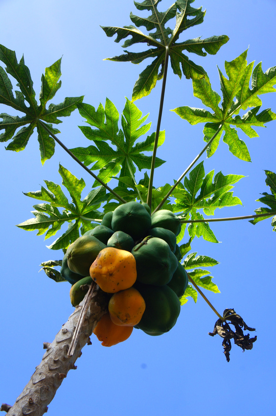 When staying at South Kona Estates we took a walk around the property to admire the garden and pick up a few fruits like this tasty papaya.
