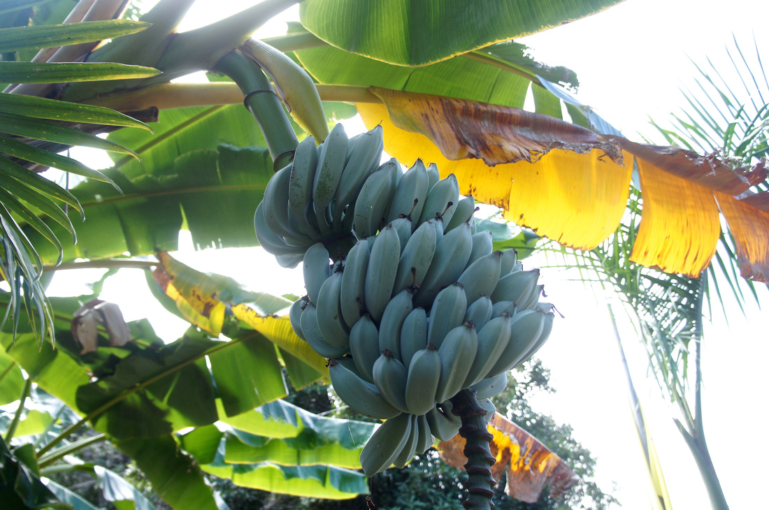 This is what banana tree looks like. So many bananas can come from one tree!