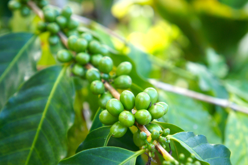 This is what coffee plant looks like before it makes it to your favorite coffee shop.