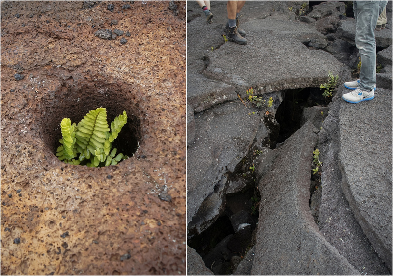 Eventually plants break through lava cracks and take over the otherwise black and lifeless terrain. In wetter areas it can take as little as 150 years for a full forest to develop. Talk about natural restoration.