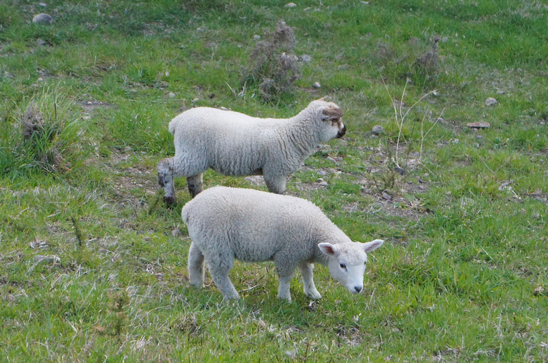 Cute sheep of New Zealand.