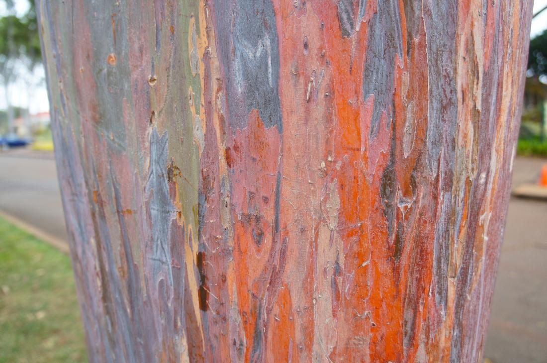 Rainbow trees (aka eucalyptus deglupta) at Dole Plantation, Oahu, Hawaii