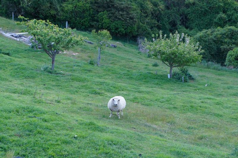 Cute & fat sheep of New Zealand.